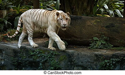 White Tiger Paces on a Rock at the Zoo, with Sound -...