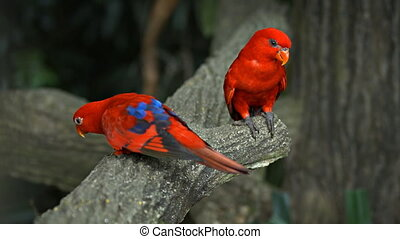 Pair of Beautiful Red Lorikeets at the Zoo - Pair of...