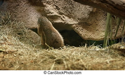 Solitary South African Ground Squirrel Foraging at the Zoo -...