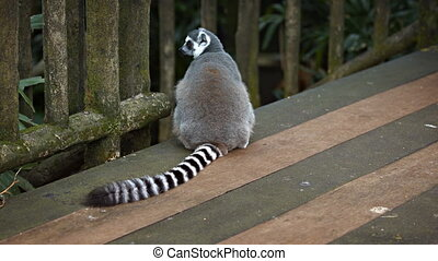 Mature Ring Tailed Lemur Sitting on a Wooden Deck - Mature,...