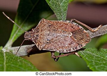 Stink Bug - Overhead view of a stink bug on a branch...