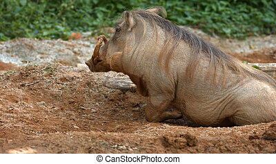 Solitary Desert Warthog in the Mud at the Zoo - Adult desert...
