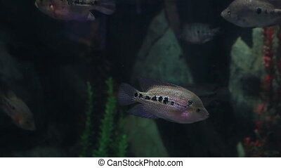 Copadichromis ilesi in beautifully decorated Marine Aquarium...
