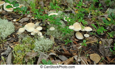 Little Colony of Mushrooms on Forest Floor. 1080p footage -...
