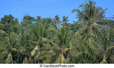 Tops of Coconut Trees near a Tropical Beach - Leaves, fronds...