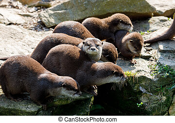 European otter family (Lutra lutra) - playful family of...