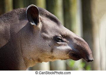 South American tapir (Tapirus terrestris), Brazilian tapir....