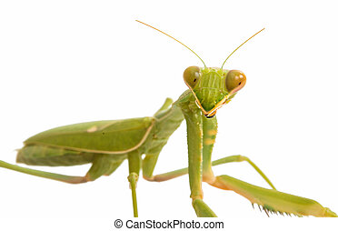 Female Praying Mantis, in front of white background