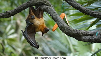 Large Flying Fox Hangs Upside Down at the Zoo - Solitary...