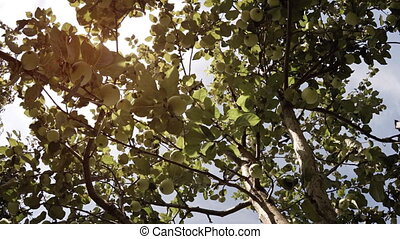 Gentle Breeze stirs Leaves and Branches of an Apple Tree