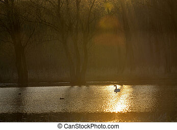 Single swan at sunrise on lake