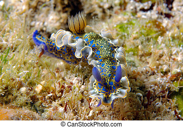 Gold-crowned Sea Goddess - Nudibranch