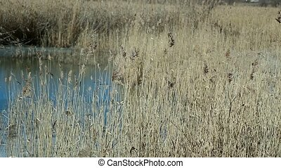 Withered reeds on a forest lake, winter