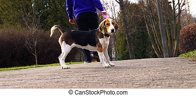 dog Beagle on a leash for a walk with its owner