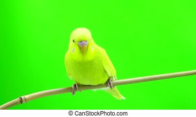 budgie isolated on green screen