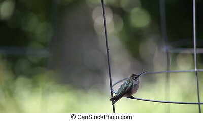 hummingbird scratches - a ruby-throated hummingbird...