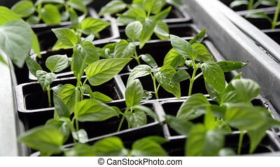 Young fresh seedling in plastic pots. 4K Video - Young fresh...
