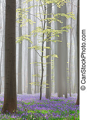 Hallerbos beech forest with bluebells