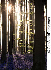 Hallerbos Enchanted forest sunrise - Hallerbos, enchanted...