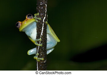 Yellow Frog - A frog shot in the south american jungle at...