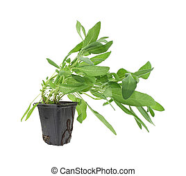 Sage plant - A sage plant for a home herb garden in a black...