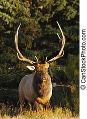 Big Bull Elk - a big bull elk standing head on