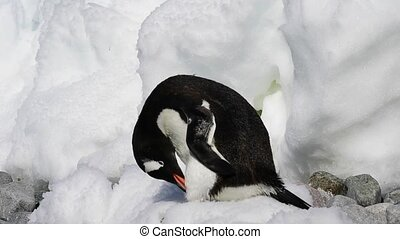 Gentoo Penguin on the ice travel to Antarctica