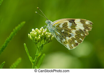 Eastern White Bath Butterfly or Pontia edusa - Close up of...