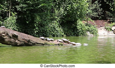 Turtles on a tree branch in a water stream