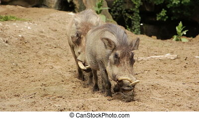 Two wild pigs - Shot of Two wild pigs