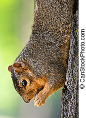 Eastern Fox Squirrel Eating A Peanut - Hanging Eastern Fox...