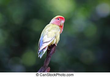 Peach-faced lovebird Rosy-faced Agapornis roseicollis Very...