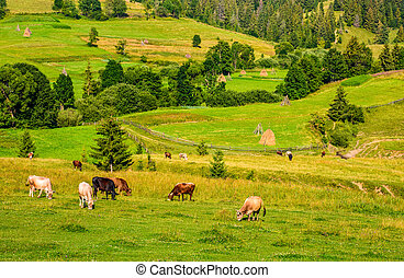 few cows grazing on hillside meadow. haystacks behind the...
