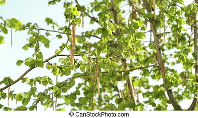 Hazelnut Tree in the Spring Season Closeup - A Hazelnut tree...