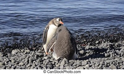 Gentoo Penguin feeding chick in Antarctica