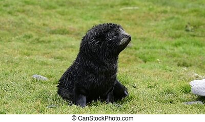 Antarctic fur seal pup close-up in grass - Antarctic fur...