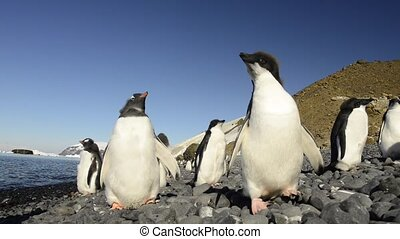 Gentoo and Adelie Penguins chiks in Antarctica
