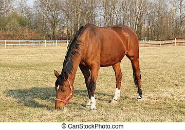 brown horse - nice brown horse pasturing on the meadow
