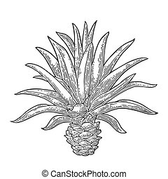 Cactus blue agave. Vintage vector engraving illustration for...