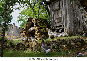 Foie gras geese on a traditional goose farm