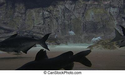 Panganus and other big fish in a large aquarium. FullHD...