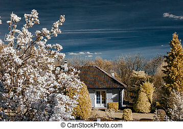 Magnolia flowering in infra red view, Alsace, France