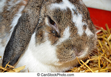 lop-eared rabbit in straw - close up of floppy eared bunny...