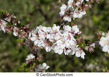 Nanking cherry blossom tree in a park. - White and pink...