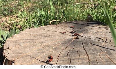 Bugs on a tree stump, timelapse - Red bugs on hemp, spring...
