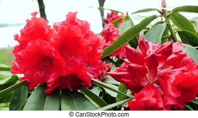 Red rhododendron flowers. CUsing the slider
