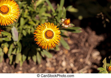 Jumbo yellow strawflower called Bracteantha blooms in a...