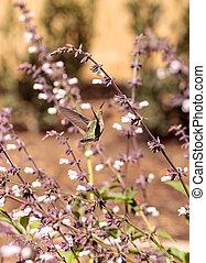 Male Annas Hummingbird, Calypte anna, feeds off nectar in...