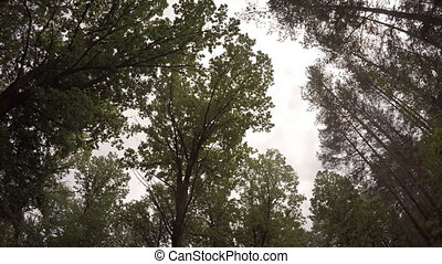 Tall Pine Trees Tower over a Muddy Wilderness Trail - Tall...