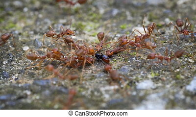 Group of Weaver Ants in the Wild, with Sound - Group of...